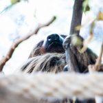 ljenivci-zoo-20102020-52