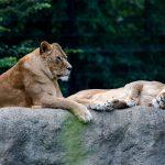 lavovi-odmor-23052020-00